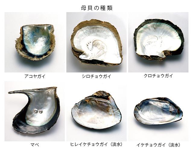 真珠:母貝の種類